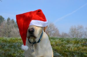 dog with christmas hat on